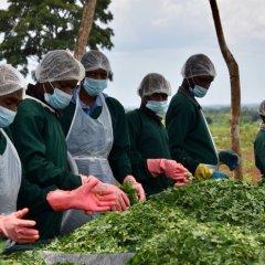 O sucesso da produção de moringa no apoio ao desenvolvimento das comunidades locais