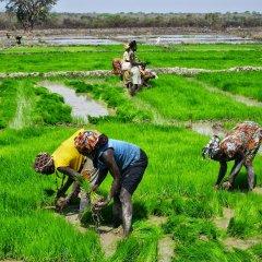 Banco Africano de Desenvolvimento financia projeto de produção de arroz na Guiné-Bissau